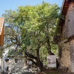 Der sagenumwobene Palabirnen-Baum